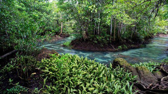 Mangrove forest at Khlong Song Nam  Tha Pom  Krabi Province.